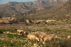 Mojon (H&T PhotoWalks) Tags: mojon puertodemazarrón bahiademazarrón murcia spain landscape sheep canoneos400d sigma18250 tan x8