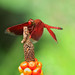 Red darter: using the top of Arum (Araceae) as a raised stand for hunting - bokeh