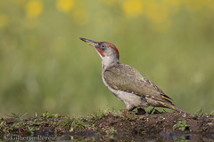 Picus viridis (LdrGilberto) Tags: verde green woodpecker pica pau viridis picus picusviridissharpei iberiangreenwoodpecker picussharpei
