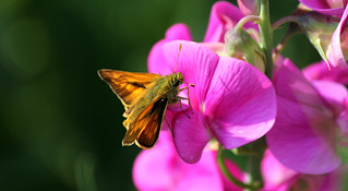 Large Skipper on wild sweet peas