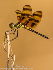 Halloween Pennant (sjsimmons68) Tags: animals fav halloweenpennant celithemiseponina insectsandspiders seminoleco dragonflyanddamselfly fllocations littlebigeconsf littlebigeconsfjoneseast
