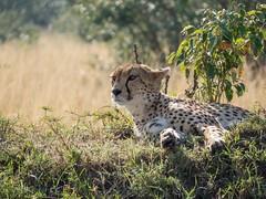 Disturbed (Makgobokgobo) Tags: africa mammal kenya mara cheetah predator masaimara acinonyxjubatus acinonyx masaimaranationalreserve