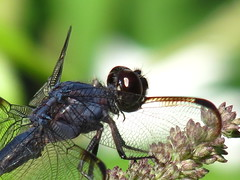 Dragonfly (teresamp2014) Tags: insect dragonfly macromarvels