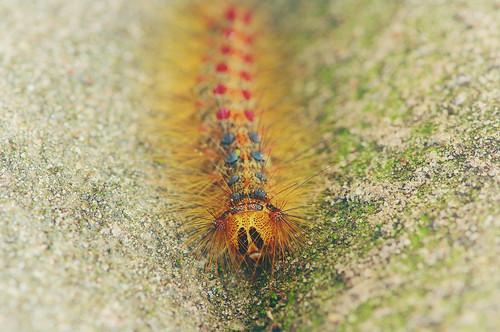 Caterpillar! Lymantria dispar close up!