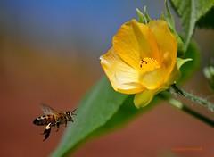 Goin' For The Gold (ACEZandEIGHTZ) Tags: flower bee honeybee insect bokeh pollen apis apidae apini yellowflower d3200 depthoffield ngc tinyworlds naturescarousel naturesgoldencarousel macroelsalvador abeja laabeja mixofflowers natureselegantshots excellentsflowers essenceofnature esenciadelanaturaleza thebestofmimamorsgroups greatshotss magicmomentsinyourlife flickrflorescloseupmacros amazingnature frameit panoramafotografico flowersorinsectsmacrosonly macroelite nikon flowersandcolors abutilon denticulatum fruticosum saariysqualitypictures