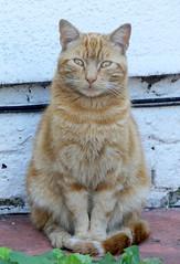 Sitting Ginger Tom (Moldovia) Tags: pet animal cat ginger feline sitting catalog gingertom catpix bridgecamera catspotting catmoments catnipaddicts catsunleashed fujifilmfinepixhs50exr