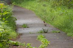Tetrastes bonasia (houroumono) Tags: bird tetrastesbonasia エゾライチョウ