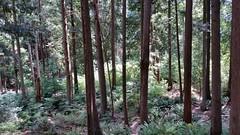 Sun penetrating the dark woods (walneylad) Tags: park trees summer brown sun canada green forest woodland woods britishcolumbia august shade urbanforest northvancouver ferns parkland urbanpark greenwoodpark