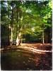 (Ruth Nicholas) Tags: woods streamingsunshine earlymorningsun changeofseason richgreenfoliage falltrees leafyforestfloor naturesbeauty