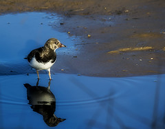 Turnstone (aliboo2011) Tags: donnanook