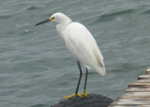 Egretta thula (Snowy Egret)