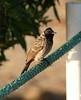 Red-vented bulbul (Pycnonotus cafer) (SteveInLeighton's Photos) Tags: bulbul oman alsawadi october 2007 birds