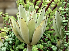 Soft, Fuzzy Succulent (Bennilover) Tags: potted gardens plants succulents fuzzy grey gray leaves circles hardy happy kalanchoetomentosa pandaplant donkeyears