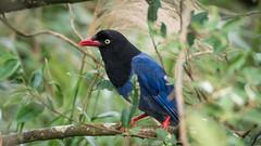 台灣藍鵲|Urocissa caerulea