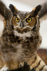 Ready For Takeoff (gerilynns) Tags: eyesonowls audoban maine birds predators feathers wings faces