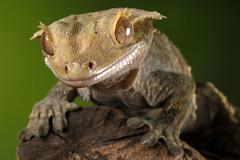 Crested Gecko, CaptiveLight, Bournemouth, Dorset, UK (rmk2112rmk) Tags: crestedgecko captivelight bournemouth dorset uk correlophusciliatus gecko lizard reptile herps bokeh macro dof