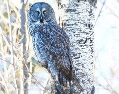 great gray owl at Sax-Zim Bog MN 854A0690 (lreis_naturalist) Tags: great gray owl saxzim bog minnesota larry reis