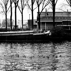 fuligules en croisière (Patrice Dx) Tags: canal oiseaux fuligulesmorillon péniche canaldebruxelles