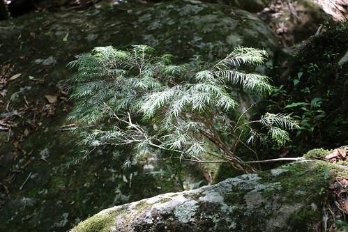 Narrow-leaf myrtle (Austromyrtus tenuifolia)?