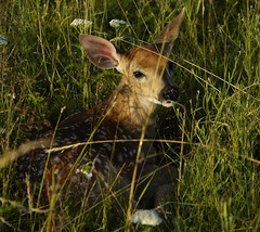 Hiding in the meadow, Shenandoah National Park, Va (jkrieger84) Tags: nikon d70 nature whitetail deer big meadow shenandoahnationalpark wildlife grass fawn