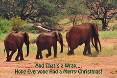 That's a Wrap - Merry Christmas Everyone! 9487b+ (Teagden (Jen Hall)) Tags: elephant elephants elephantherd bullelephant jenniferhall jenhall jenhallphotography jenhallwildlifephotography wildlifephotography wildlife nature naturephotography photography wild nikon merrychristmas happyholidays redelephants tsavoelephants safari safarisunday kenyasafari africasafari africansafari dkgrandsafaris tsavo tsavowest tsavoafrica kenya kenyawildlife kenyaafrica africa africanwildlife african africanphotography reddirt