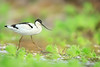 ~ Pied Avocet  |  HAPPY NEW YEAR 2017 ~ (Fu-yi) Tags: 鳥類 鴴科 taiwan formosan 福爾摩沙 side bird foraging nature wet aquatic lagoon closeup wetlands swampland eat carnivorous predator migratory 冬候鳥 黑白色 grass 水 自然 water shore wildlife animals field wilderness park isolated lonely single 保育 國家公園 保護 nationalpark protection conservation travel rare cute sideview best beautiful popular sicao 台江國家公園 四草湖 台南 翹嘴仔 tainan macromondays macro 2017