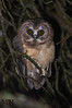 Unspotted Saw-whet Owl (roman_mauro) Tags: costa rica neotropic highlands birds raptor nocturnal bird prey lechucita parda alfaro unspotted sawwhet owl aegolius ridgwayi mauro roman nature photo