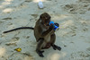 It's time for a drink! (anton_frolov) Tags: animal sand coast shore outdoor monkey drink thailand pepsi est thirst sony a65 seaside thirsty poda