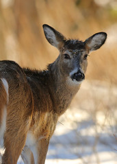 quick glance (fred.colbourne) Tags: deer wildlife glance banffnationalpark alberta canada