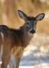 quick glance (fred.colbourne) Tags: deer wildlife glance banffnationalpark alberta canada