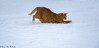 Cat plays in the snow (2AnNa3) Tags: grotekat bigcat redcat rodekat wit white sneeuw snow rood red kat cat