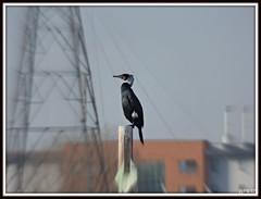 Att-ten-shun . Cormorant (postman.pete) Tags: cormorant atttenshun wigeon duck riverside curlew godwit wader mud low tide colne reflection catch stealth bar tailed black