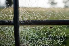 HIGGLEDY-PIGGLEDY (scatrd) Tags: web rural country macro a6000 spiderwebs aberfoyle e30mmf35macro jasonbruth sonya6000 sony 2016 newsouthwales australia nsw au
