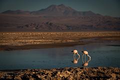 Reserva Nacional los Flamencos (josefrancisco.salgado) Tags: 70200mmf28gvrii atacamadesert chile d810a desiertodeatacama iiregióndeantofagasta lagunachaxa nikkor nikon provinciadeelloa reservanacionallosflamencos ave bird desert desierto fauna flamenco flamingo pájaro salar saltflats cl