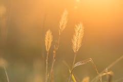Gold (marionrosengarten) Tags: macromondays gold spandauballet grass ears sun sunny backlight orange sunset inspiredbyasong field macro tamron90mmf28divcmacro