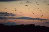 Flying Foxes (bats) at Kalong Island (Andreas' Photos) Tags: indonesia labuanbajo flores kalongisland flyingfox