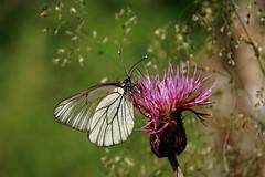 Põualiblikas (Aporia crataegi). (Imbi Vahuri) Tags: imbivahuri insecta putukad lepidoptera liblikalised pieridae põualibliklased aporia põualiblikas