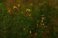 Abendschimmerwiese (g e g e n l i c h t) Tags: lumixgx7 johanniskraut hypericum wiese pflanze heilpflanze forstenriederpark münchen bayern natur macroelmaritr2860mm 60mm mft