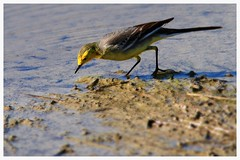 Yellow Wagtail   黃鶺鴒 (C. Alice) Tags: nature hongkong 2017 canonef300mmf4lisusm canoneos7d eos7d canon 300mm wetland water winter bird