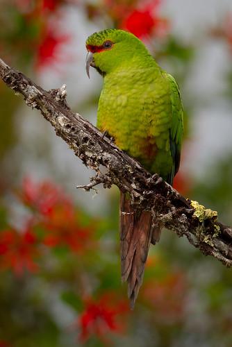 Slender-billed Parakeet - Enicognathus leptorhynchus - Choroy