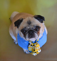 Leader of my Minions Bailey Puggins (DaPuglet) Tags: pug pugs dog dogs pet pets animal animals minion minions neck tie costume cute funny