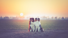 Der Herzog und die Herzogin (Stefan (ON/OFF)) Tags: aussie australianshepherd australianshepherds dogs hunde dog canine dof depthoffield dephtoffield shallowdepthoffield bokeh sunset sundown sunrise sunlight warm sunbeam pov pointofview viewpoint soulmates sonya7 sonya7m2 sonya7ii samyang samyang1352 samyang2135