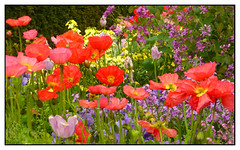 Garden Envy! (Audrey A Jackson) Tags: city flowers france colour nature beauty gardens closeup petals poppies lehavre panasonicdmctz3