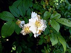 #WildRose (RenateEurope) Tags: flowers wild plants white june germany flora nrw wildrose 2015 outinthegreen iphoneography renateeurope