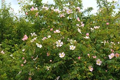 Heckenrosen (Rosa corymbifera); Bergenhusen, Stapelholm (9) (Chironius) Tags: rosa stapelholm bergenhusen schleswigholstein deutschland germany allemagne alemania germania германия szlezwigholsztyn niemcy blüte blossom flower fleur flor fiore blüten цветок цветение rosids fabids rosales rosenartige rosaceae rosengewächse rosoideae rose rosen roses roze gül роуз