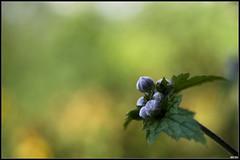 Anémone du Japon (Daenelyn) Tags: france fleur bokeh chinon indreetloire smcpentaxm50mmf17 anémonedujapon pentaxk5