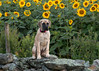 Little Miss Millie (John Clay173) Tags: summer connecticut englishmastiff ct sunflower millie griswold jclay buttoonwoodfarm