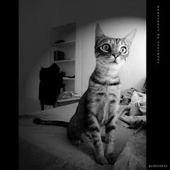 gato -explore- (archifra -francesco de vincenzi-) Tags: bw italy cat chat gato felino sicily katze miao gatto micio ネコ кот γάτα mazaradelvallo قط archifraisernia francescodevincenzi