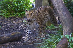 ol' blue eyes (ucumari photography) Tags: sc animal mammal zoo south july leopard carolina siberian greenville amur pantherapardusorientalis 2015 specanimal ucumariphotography dsc8487