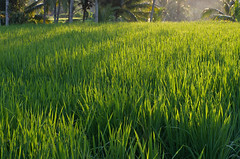 Bali Rice Fields (Twilight Tea) Tags: bali indonesia rice april 2015   balisilentretreat